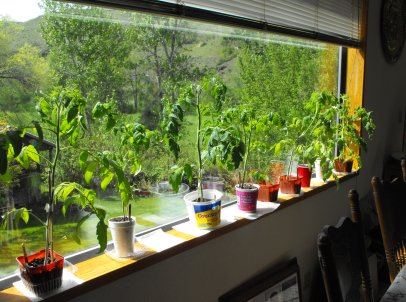 Tomato Plants - Growing Indoors