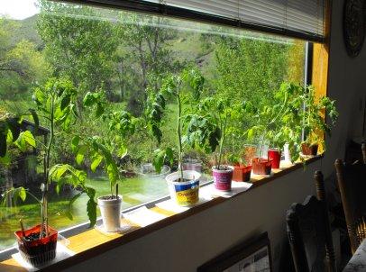 Tomato Plants - Growing Indoors
